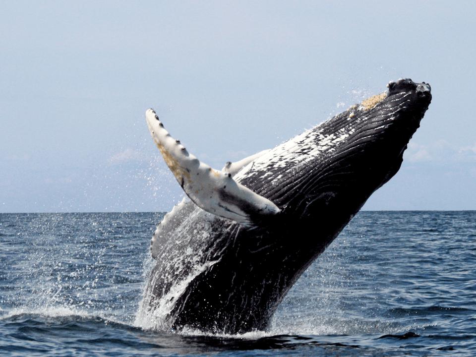 De junho a novembro, acontece no litoral sul a temporada de visualização de Baleias-Francas