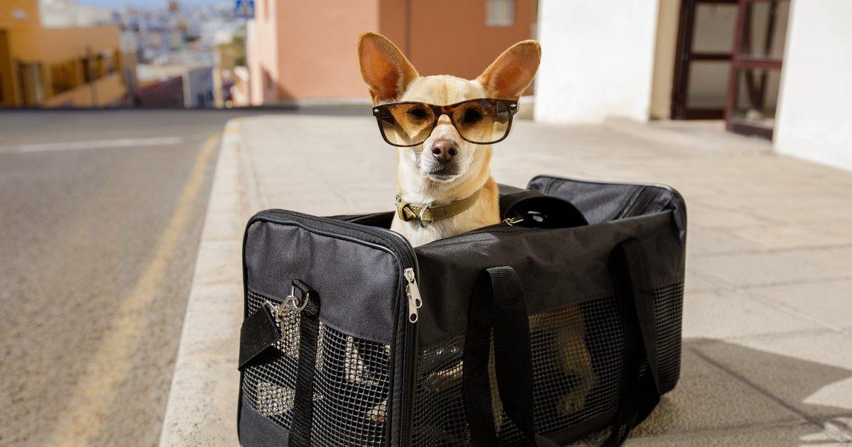Viagem com seu pet: saiba os cuidados que você precisa ter
